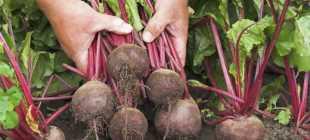 Свёкла столовая: секреты хороших урожаев сладких корнеплодов