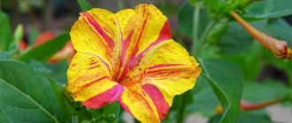 Ночная красавица: описание цветка, посадка и особенности ухода за растением